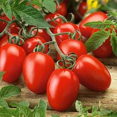 Learn how to grow roma tomatoes. Growing roma tomatoes is similar to growing other tomato varieties. It is suitable for cooking and canning, you can also grow roma tomatoes in pots. Growing Tomatoes From Seed, Growing Tomato Plants, Growing Tomatoes In Containers, Growing Vegetables, Grow Tomatoes, Heirloom Tomato Plants, Heirloom Tomatoes, Culture Tomate, Best Tasting Tomatoes