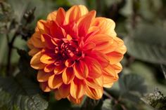 Orange to the point that it almost seems to siphon off the color from the foliage around it. Wishing you a happy Wednesday from the Seasonal Border.    Photo by Ivo M. Vermeulen