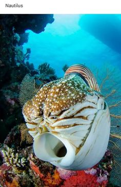"Nautilus ~ Miks' Pics ""Sea Life lll"" board @ Godne uwagi jest to, że mają… Life Under The Sea, Under The Ocean, Sea And Ocean, Underwater Creatures, Underwater Life, Beneath The Sea, Water Animals, Wale, Tier Fotos"