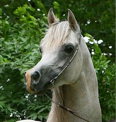 Arabian horse. Such a cute and dished face!!