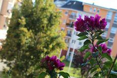 A kánikulatűrő bougainvillea (murvafürt) a napos balkonok igazi sztárja. Bougainvillea, Plants, Planters, Plant, Planting