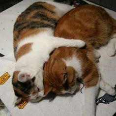 Cute Cats, Corgi, Animals, Animales, Pretty Cats, Corgis, Animaux, Animal, Animais