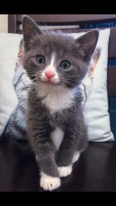 Frankie Cat | Pawshake