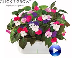 A plant growing in the Click & Grow flowerpot does not need watering, fertilising or any other kind of extra care. Everything is taken care of by the sensors, microprocessor and special software in the flowerpot.