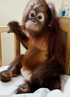 Baby Orangutan - 'When can I get out and play?
