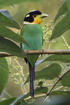 Long-Tailed Broadbill: Himalayas, Southeast Asia, Indonesia