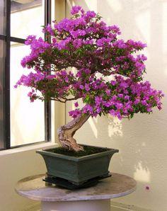 Idea to use ~ Bougainvillea bonsai                              …