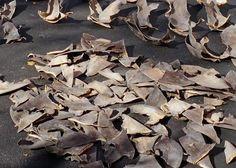 Call on ICCAT to eradicate shark finning http://www.worldfishing.net/news101/industry-news/call-to-eradicate-shark-finning