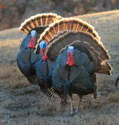 wild turkeys http://riflescopescenter.com