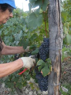 Grapes Harvest in Tacchino Raffaele Wineyards in Piedmont - my mother
