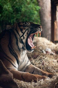 Sumatran Tiger at ZSL London Zoo by Sophie L. Miller, via Flickr