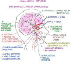 SIMPLIFYING THE CRANIAL NERVES (@Lindsay Spencer and @Gracie Cheek). ** You'll need this for grad school & ASHA exam.