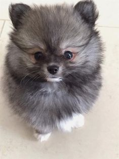 Hey Pomeranian dog, do you want a treat? Hey Pomeranian dog, do you want a treat? Cute Baby Animals, Animals And Pets, Funny Animals, Cute Puppies, Cute Dogs, Dogs And Puppies, Doggies, Beautiful Dogs, Animals Beautiful