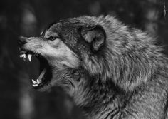 New Ideas For Tattoo Wolf Angry Werewolves Wolf Tattoos, Wolf Spirit, Spirit Animal, Beautiful Wolves, Animals Beautiful, Snarling Wolf, Angry Wolf, Wolf Tattoo Design, Wolf Wallpaper
