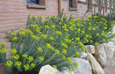 Silver spurge; euphorbia rigida; Gopher plant: evergreen, almost succulent character. Upright before spreading; stays tidy, not floppy; very architectural; resilient; drought tolerant; late winter early spring blooms. Prefers full sun, well draining. Not eaten by mammals.