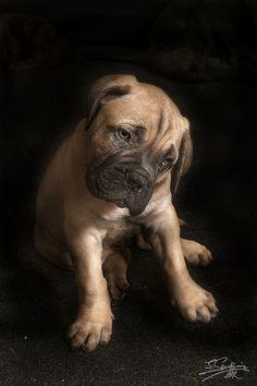 cachorro bullmastiff...TOF