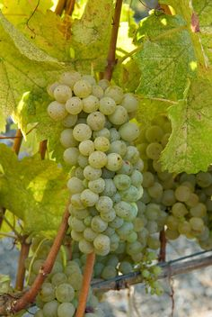 Paso Robles Wine Country Alliance - Viognier: Grower Blog