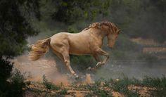 PRE Stallion Ismaeli Katarzyna Okrzesik Photography