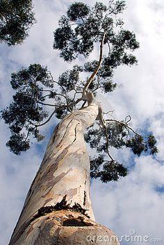 eucalyptus trees   Eucalyptus Tree Royalty Free Stock Photos - Image: 4215038