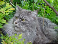 We adore cats with long hair. Learn about some of our favorite breeds, including the Persian, Maine Coon and Norwegian Forest Cat.