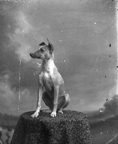Posing Dog, very very rare back then.