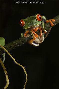 La rana de Costa Rica, la rana de ojos rojos es una de las más queridas y buscadas. Símbolo del turismo naturalista costarricense.