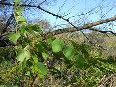 5 MORE of Iowa's Most Invasive Species (and how to get rid of them).
