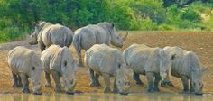 "A group of rhinos is a ""crash"". Sadly, a rare, if not obsolete phenomenon now."