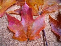 Preserving fall leaves with glycerin