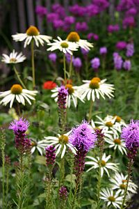 Gartenmonat August  http://www.gartenmonat.de/html/gartenmonat_august.htm