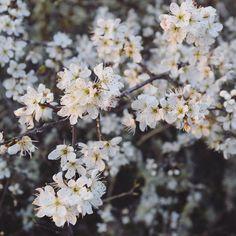 Spring has sprung with sloe berry #blossom everywhere  #nature #woodland #walking #thegreatoutdoors #landscape #plantlove #yogaretreat #lotetgaronne #igersfrance #igersgascony #southwestfrance #frenchlife #simplethings #athingofbeauty