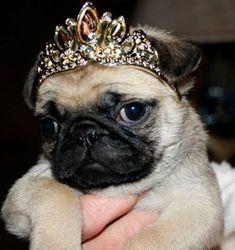 Stop arguing. I'm a #pug queen!