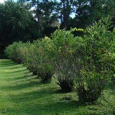 Using Blueberry Bushes In The Landscape As Edible Plants And Ornamental Shrubs.