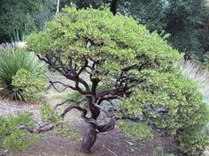 all about Manzanitas (Arctostaphylos) ... includes kinnikinnick in family