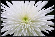 White Chrysanthemum Flower | Desire to Inspire: January Designs & Flowers By Birth Month