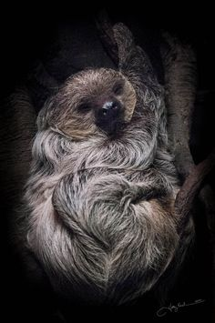 Did you know that sometimes when sloths are swinging through the trees that they mistake their arm for a branch and grab hold. They then let go of the actual branch and plummet to their death. Really sad for such a doscile and cute animal.