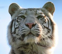 White Tiger (by wendysalisbury) wendysalisburyphotography Pretty Cats, Beautiful Cats, Animals Beautiful, Baby Animals, Cute Animals, Wild Animals, Pet Tiger, Tiger Cubs, Bear Cubs