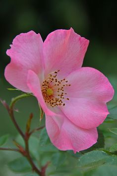 Wild Rose by Dennis Jarvis #Rose