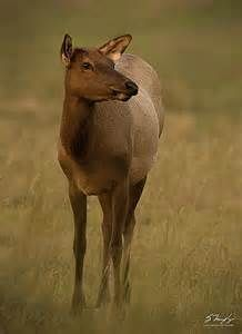images cow elk - Yahoo Image Search Results