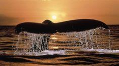 sunset tails, whales 1920x1080 wallpaper, animalhi.com_46
