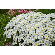 Amazing Daisies Daisy May from Proven Winners blooms all summer long with large, snow-white flowers. Better branching and many side buds contribute to this Shasta Daisy's flourishing appearance. Full Sun Perennials, Hardy Perennials, Flowers Perennials, Tall Perennial Flowers, Moon Garden, Dream Garden, Cool Plants, Live Plants, White Flowers