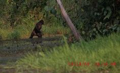 Could this be undeniable proof of a Swamp Ape? Bigfoot Photos, Pie Grande, Fierce Lion, Finding Bigfoot, Bigfoot Sightings, Magnificent Beasts, Bigfoot Sasquatch, Mothman, Aliens And Ufos