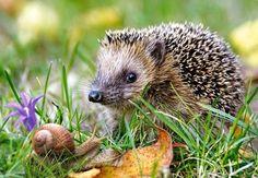 Отслеживаемые сайты ‹ Чтиво — WordPress.com Animals And Pets, Baby Animals, Cute Animals, British Wildlife, Wildlife Art, Bee Drawing, Drawing Ideas, Cute Hedgehog, Pygmy Hedgehog