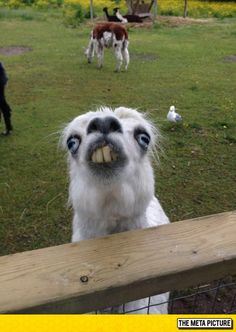 Funny pictures about This Llama At The Petting Zoo. Oh, and cool pics about This Llama At The Petting Zoo. Also, This Llama At The Petting Zoo photos. Funny Animal Jokes, Cute Funny Animals, Funny Animal Pictures, Animal Memes, Cute Baby Animals, Funny Cute, Funny Dogs, Funny Memes, Funniest Animals