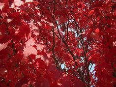 Spectacular Red Maple Tree, Sioux Falls, SD