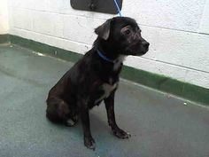 BABY (A1674955) I am a female black and white Terrier mix. The shelter staff think I am about 3 years old. I was found as a stray and I may be available for adoption on 01/28/2015. — Miami Dade County Animal Services. https://www.facebook.com/urgentdogsofmiami/photos/pb.191859757515102.-2207520000.1422192911./916213891746348/?type=3&theater