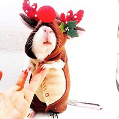 Cute but poor piggy! Guinea Pig Costume Christmas Reindeer Costume by Crafted4Pets