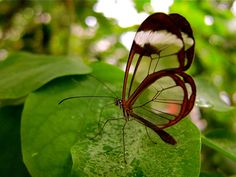 The dainty glasswinged butterfly (genus Greta) has pockets of transparency in its wings, which help it blend in wherever it is.
