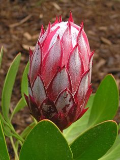 Bought a Protea cynaroides 'Mini King' with you guys; if pink isn't going to jive in the front, i'm happy to pot out back, but if there is a place to plant it, I'd love to be able to make my own farm girl flowers bouquets at home :) Protea Art, Protea Flower, Flora Flowers, Butterfly Flowers, All Flowers, Exotic Flowers, Tropical Flowers, Amazing Flowers, Beautiful Flowers
