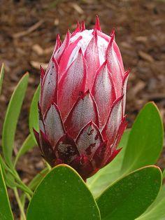 Protea cynaroides 'Mini King'